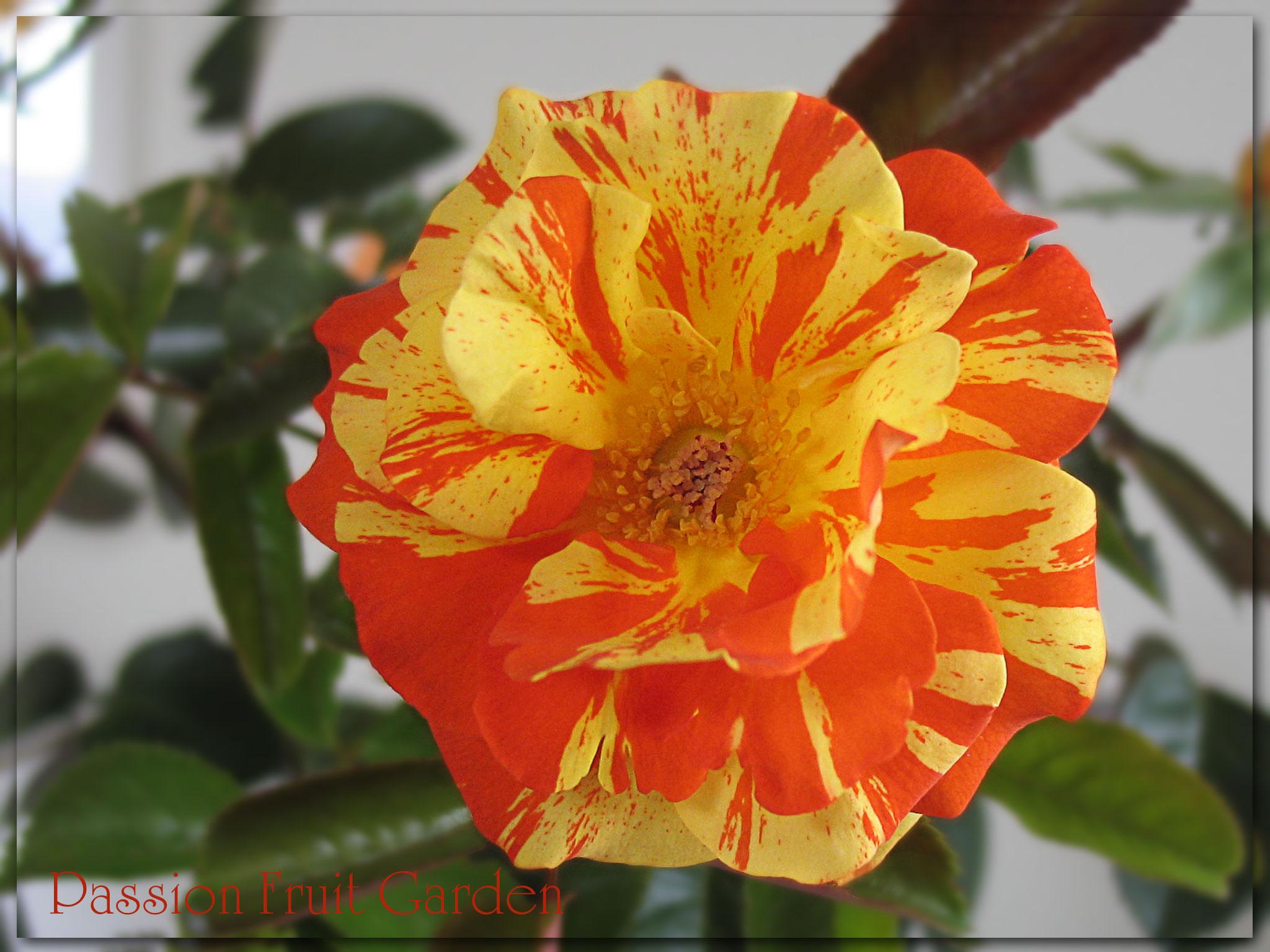 Floribunda Roses Passion Fruit Garden